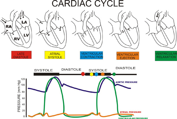 The Cardiovascular System Mechanics And Dynamics