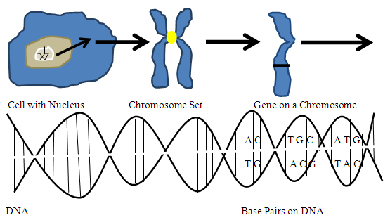 130603 the evolution of genetic engineering image 13060301 diagram i cell with nucleus chromosome ccuart Gallery