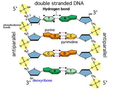 the characteristics of dna and the use of the model of dna structure in classrooms Gm foods and dna phyllis robinson fall 2002 solomon teklai overview objectives: 1) have students do some initial exploration on the concepts of gm foods 2) review the structure of dna by.