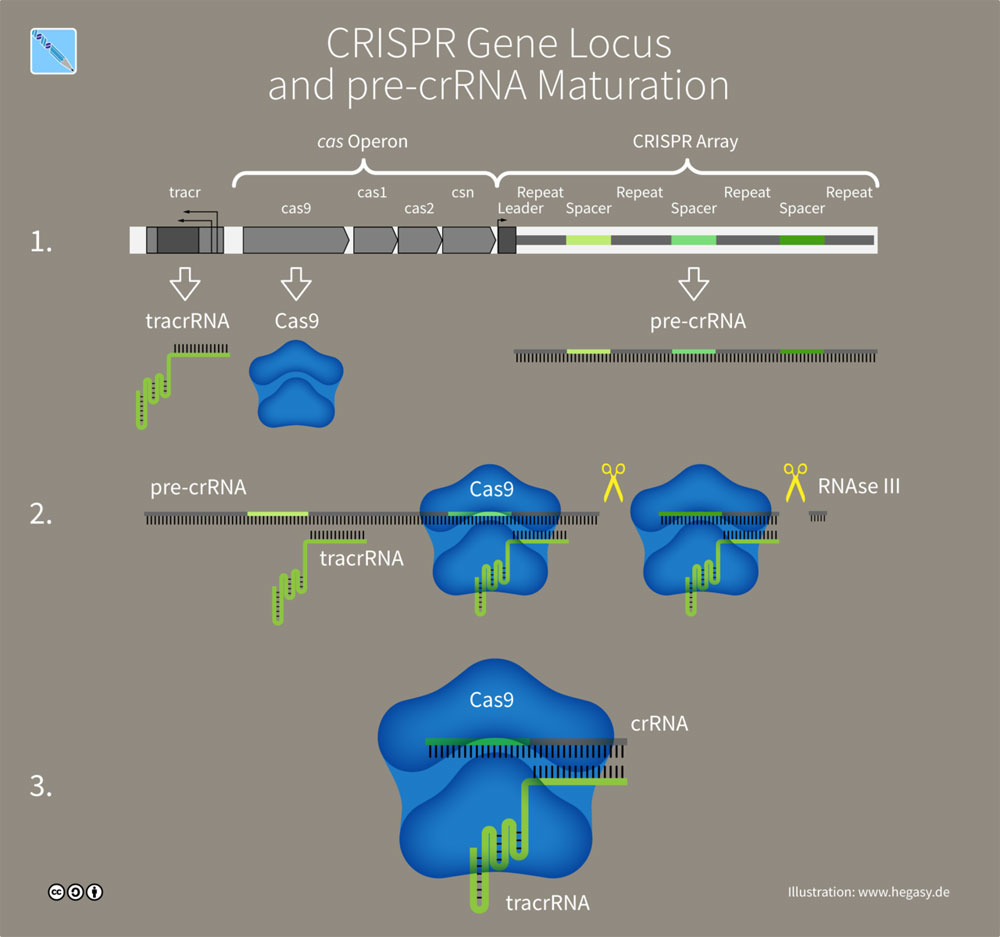 Figure 1: CRISPR-Cas-9 Array