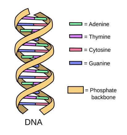 DNA Strand with Nitrogen Bases and Phosphate Backbone