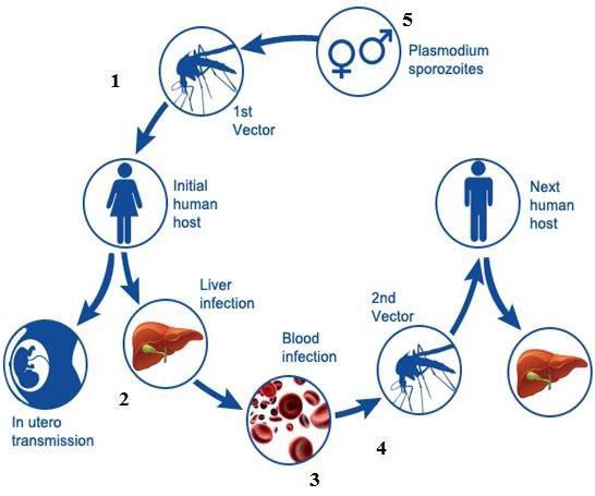 Transmission of Malaria