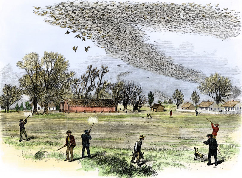Figure 2: Passenger pigeon flock being hunted in Louisiana. The Illustrated Shooting and Dramatic News.