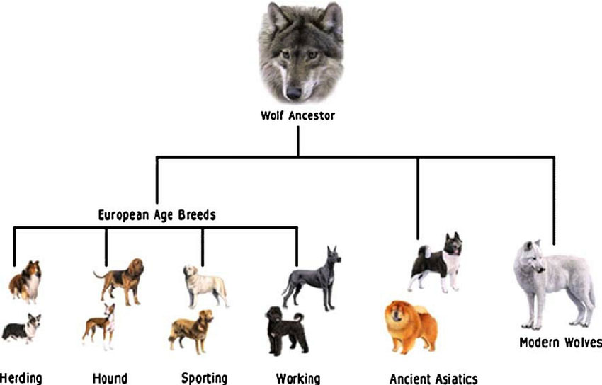 Figure 1 This basic family tree shows how wolves and dogs share a common ancestor.  In one of the classroom activities, students will create a similar classification system based on their family tree.